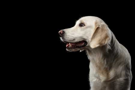 Adorable Portrait of Golden Retriever Dog Looking side, Isolated on Black Backgrond, profile view Stock Photo