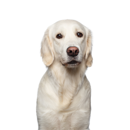 Funny Portrait of Golden Retriever Dog Looks Sad, Isolated on White Backgrond