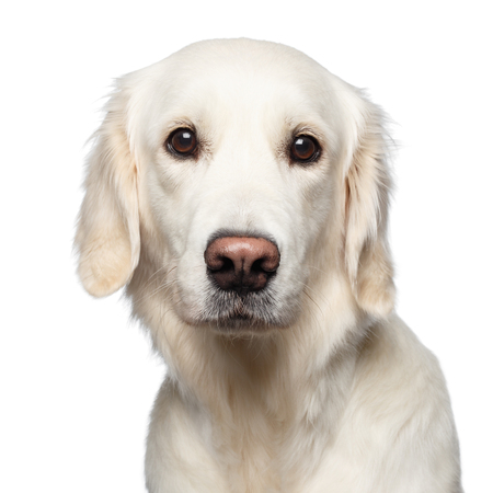 Funny Portrait of Golden Retriever Dog Looks Cute, Isolated on White Backgrond