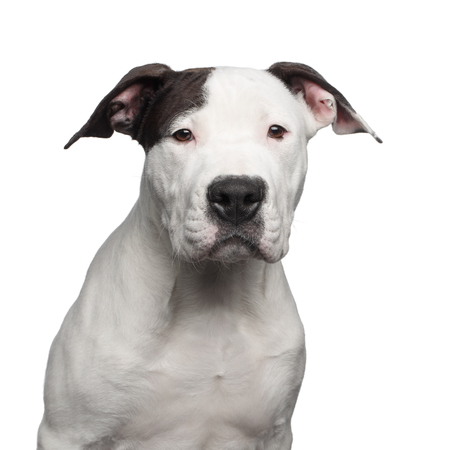 Portrait of American Staffordshire Terrier Puppy Looking in Camera Isolated on White Background, front view
