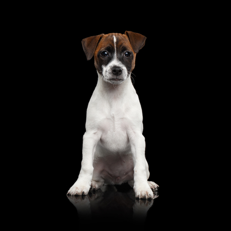 Young Jack Russel Terrier Puppy Sitting on Isolated Black Background with reflection Stock Photo