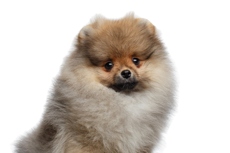 Portrait of Furry miniature Pomeranian Spitz puppy Isolated on White background, front view Stock Photo