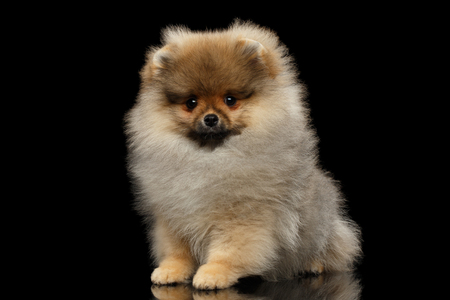 Groomed miniature Pomeranian Spitz puppy Sitting on black isolated background, front view
