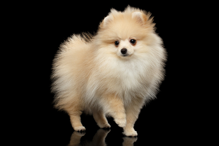 Cute miniature Pomeranian Spitz Dog Standing on black isolated background, front view 版權商用圖片