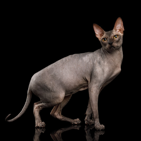 Adorable Sphynx Cat Walk and Looking up Isolated on Black Background, side view Stock Photo