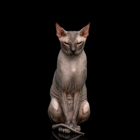 Sphynx Cat with Beautiful eyes Sitting and Gazing Isolated on Black Background, front view Stock Photo