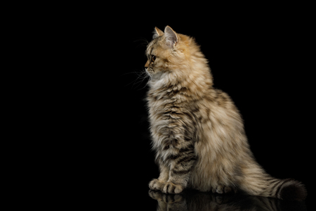 Furry Kitten Sitting and looking at side on Isolated Black Backgroundon