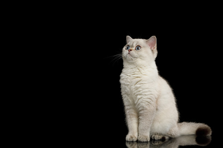 Adorable British breed Cat White color with Blue eyes, Sitting and looking at side on Isolated Black Background Stock Photo