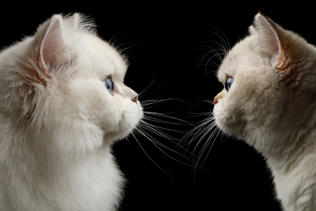 Portrait of Twi British breed Cats White color with Blue eyes, Stare at side on Isolated Black Background, profile view