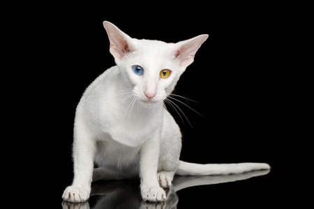 Odd Eyed Oriental Cat With White fur Sitting on Black Isolated Background Stok Fotoğraf
