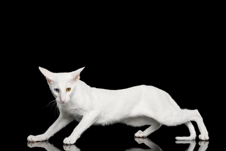 Odd Eyed Oriental Cat With White fur Clumsily Walk on Black Isolated Background
