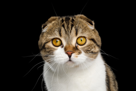 Portrait of Scottish Fold Cat White with tabby fur isolated on Black Background