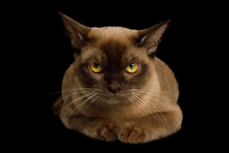 Angry Brown Burmese Cat Lying isolated on black background, front view