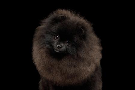 Portrait of Furry Pomeranian Spitz Dog on Isolated Black Background, front view 版權商用圖片