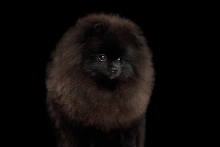 Portrait of Furry Pomeranian Spitz Dog on Isolated Black Background, front view