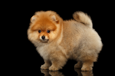 Groomed miniature Pomeranian Spitz puppy Standing and Looking at camera on black isolated background, side view 版權商用圖片
