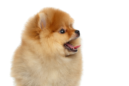 Portrait of Happy miniature Pomeranian Spitz puppy Looking at side on Isolated white background, profile view