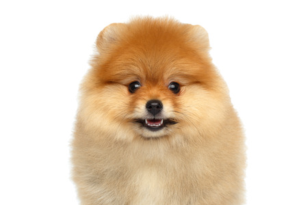 Portrait of Happy miniature Pomeranian Spitz puppy smiling in camera on Isolated white background, front view