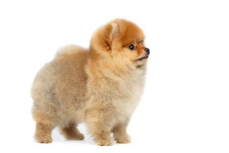 Gelukkig miniatuur Pomeranian Spitz puppy staan en kijken naar kant op geïsoleerde witte achtergrond, profiel te bekijken