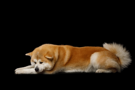 Akita Inu Dog Lying on Isolated Black Background, side view
