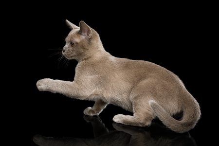 Cute Gray Kitten standing and Raising paw on isolated black background, front view