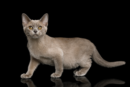 Adorable Gray Kitten standing and Looking up on isolated black background, side view
