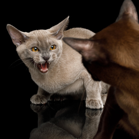 Closeup Two Angry Cats hisses with fear of each other on isolated black background 版權商用圖片