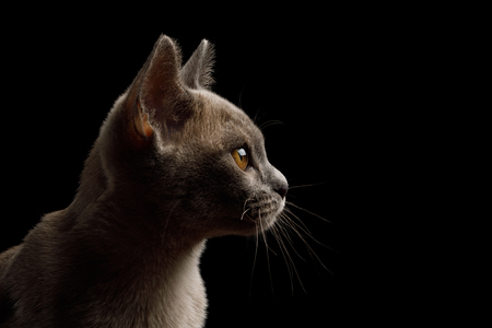 Closeup Portrait of gray kitten on isolated black background, profile view