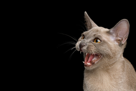 Closeup Portrait of Angry Cat hisses on isolated black background, profile view Stock Photo