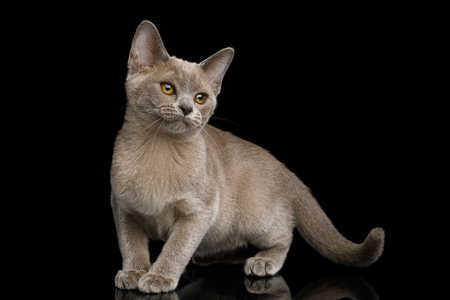Cute Gray Kitten standing and Looking up on isolated black background, front view