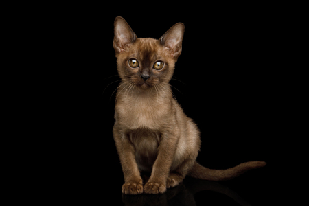 Amazing Brown Kitten sitting and Gazing on isolated black background, front view