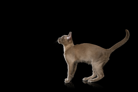 Playful Gray Kitten standing and move back on isolated black background, side view Stock Photo