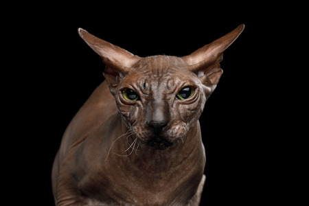 Portrait of Sphynx Cat with funny ears Angry Looking in Camera Isolated on Black Background, front view