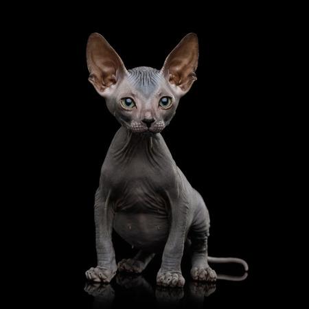 Gatito Sphynx sentado y miradas curiosas aisladas sobre fondo negro, vista frontal Foto de archivo