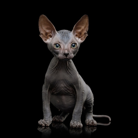 Sphynx Kitten Sitting and Curious Looks Isolated on Black Background, front view