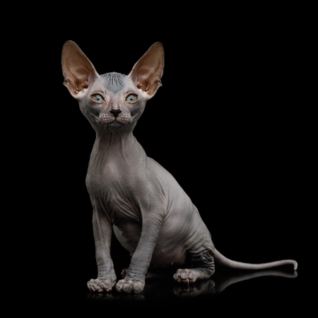 Funny Sphynx Kitten Sitting and Curious Looks Isolated on Black Background, front view