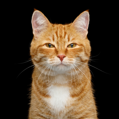 Funny Portrait of Ginger Cat Gazing with squinting looks on Isolated Black Background