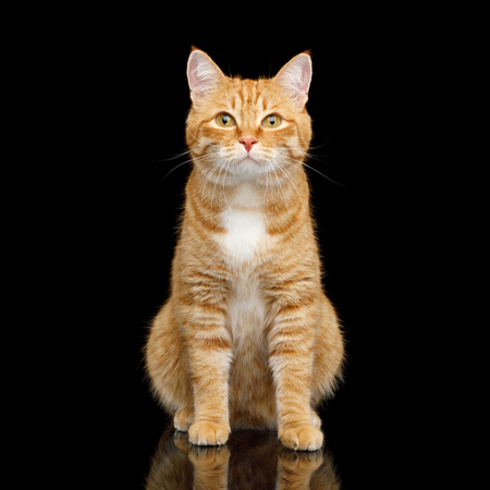Cute Ginger Cat Sitting on Mirror Isolated Black background and Looking in camera, front view