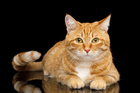 Lying Ginger Cat with tail Cute Gazing on Mirror Isolated Black background