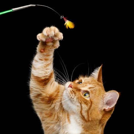 Portrait of Playful Ginger Cat raising up paw with claws for catching toy on Isolated Black Background