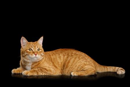 Lazy Ginger Cat Lying on Mirror Isolated Black background and Looking up, side view