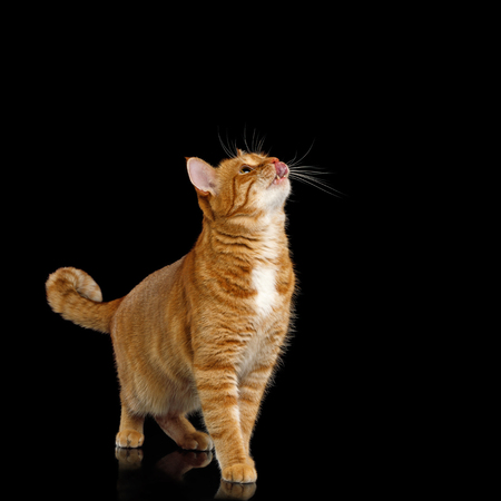 Adorable Ginger Cat Standing, looking up and licking on Isolated Black background, asking food