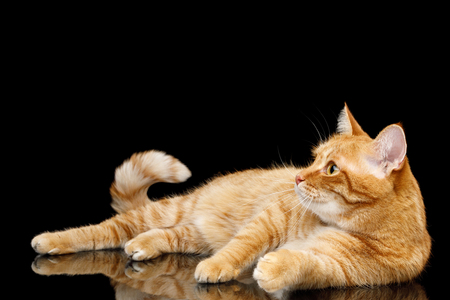 Lazy Ginger Cat Lying on Mirror Isolated Black background and Looking up