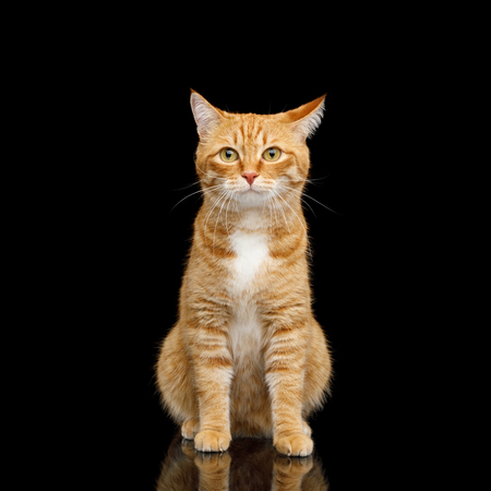 Curious Ginger Cat Sitting on Mirror Isolated Black background and Looking in camera, front view