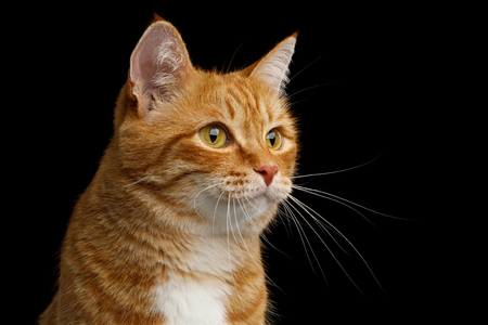 Adorable Portrait of Ginger Cat on Isolated Black Background, profile view