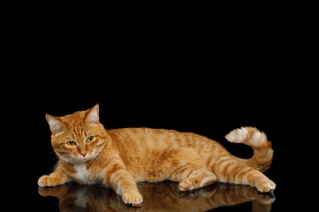 Lazy Ginger Cat looks pity and Lying on Mirror Isolated Black background, raising paw