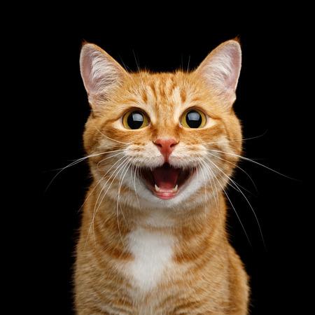 Grappig portret van gelukkig lachend gember kat staren met geopende mond en grote ogen op geïsoleerde zwarte achtergrond