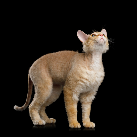 Haired Ginger Sphynx Cat Standing and Stare up on Isolated Black background