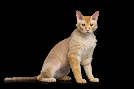 Cute Haired Ginger Sphynx Cat Sitting and Looking with interest on Isolated Black background, side view Banco de Imagens