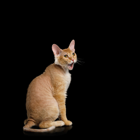 Surpraised Ginger Sphynx Cat Sitting with opened mouth Stare up on Isolated Black background